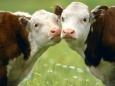 Приметы кризиса – в Англии начинают воровать скот.