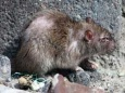Гигантская «крыса-монстр» найдена на детской площадке в Лондоне
