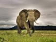 Содержащийся в крови слонов белок уничтожает раковые клетки