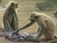 История о том, как обезьяны приняли в семью робота (видео)