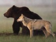 Медведи сократили число убийств волками