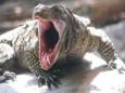Комодские драконы помогут бороться с инфекциями