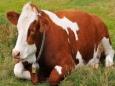 Швейцарские ученые озадачены самоубийством коров