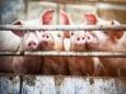 Как сделать органы свиней подходящими для трансплантации