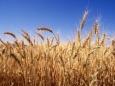 Россия как новая «пшеничная» сверхдержава