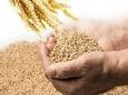 Экспорт зерна добьет русскую деревню