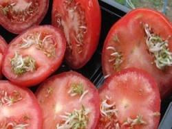 Стерилизация населения с помощью ГМО