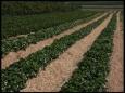 Выращивание урожая без прополки и полива