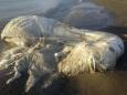 На филиппинский пляж море выбросило мохнатого гиганта