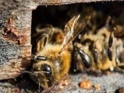 Вакцина способная спасти пчел
