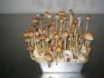 Волшебные грибы для английской элиты