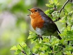 Зачем птицы поют?