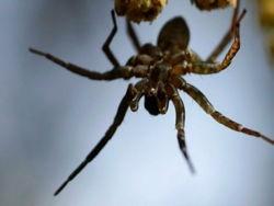 Трое детей дали укусить себя ядовитому пауку