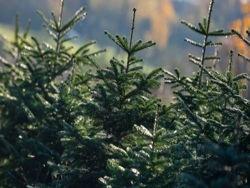 Столько насекомых вы приносите домой вместе с рождественской елкой