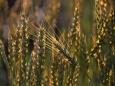 Вредна ли современная пшеница для здоровья и экологии?
