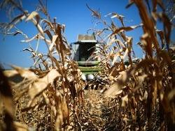 Украина превращается в кукурузное поле