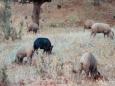 Дикие свиньи стали представлять для климата большую угрозу