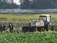 Жители Ольшан о нашумевшем видео, где фермер давит урожай огурцов