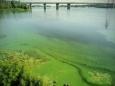 Киевское водохранилище позеленело и превращается в болото
